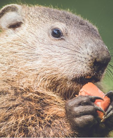 Punxsutawney Phil may groundhog the spotlight every February 2, but he is far from the only furry