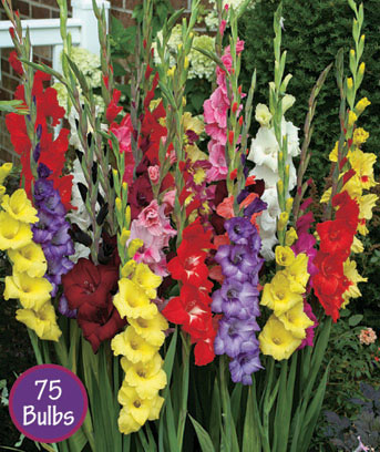 Gladiolus Easy-to-Grow Bulbs