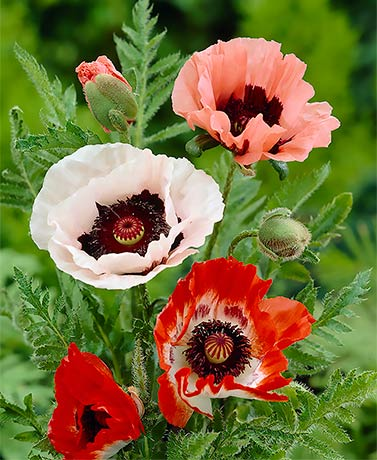 Set of 5 Mixed Poppy Roots
