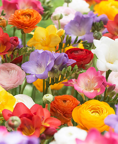 Set of 25 Grand Freesia & Ranunculus Blend Bulbs