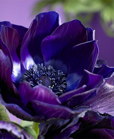 Set of 10 Darkest Blue Windflower Bulbs
