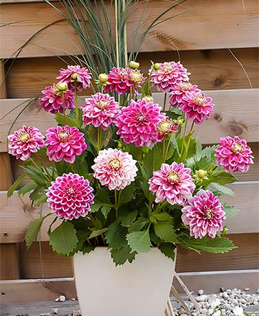 Set of 3 Two-Tone Dahlia Bulbs