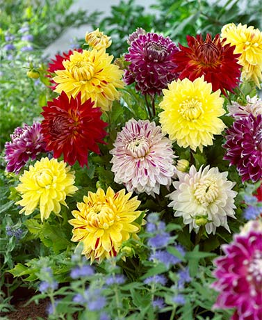 Set of 7 Giant Blooming Dahlias Bulbs