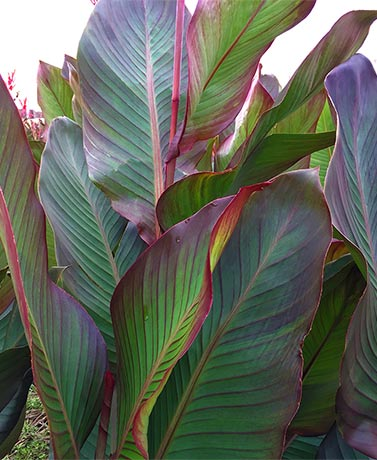 Set of 5 Giant Cannas Musifolia Bulbs