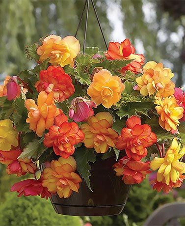 Set of 6 Golden Balcony Begonia Bulbs