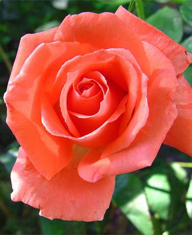 Single Tropicana Rose Root
